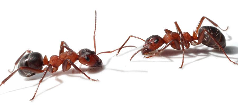 Traitement des fourmis - Extermination Protect, exterminateur à Québec