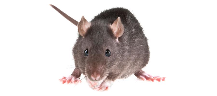 Traitement des souris et mulots - Extermination Protect, exterminateur à Québec